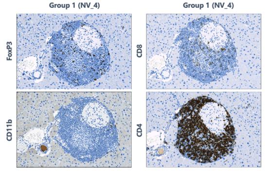 Immune mediated insulitis in mice. Control animals