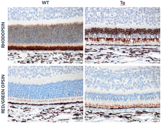 Example slides of a retinal degeneration model in pigs